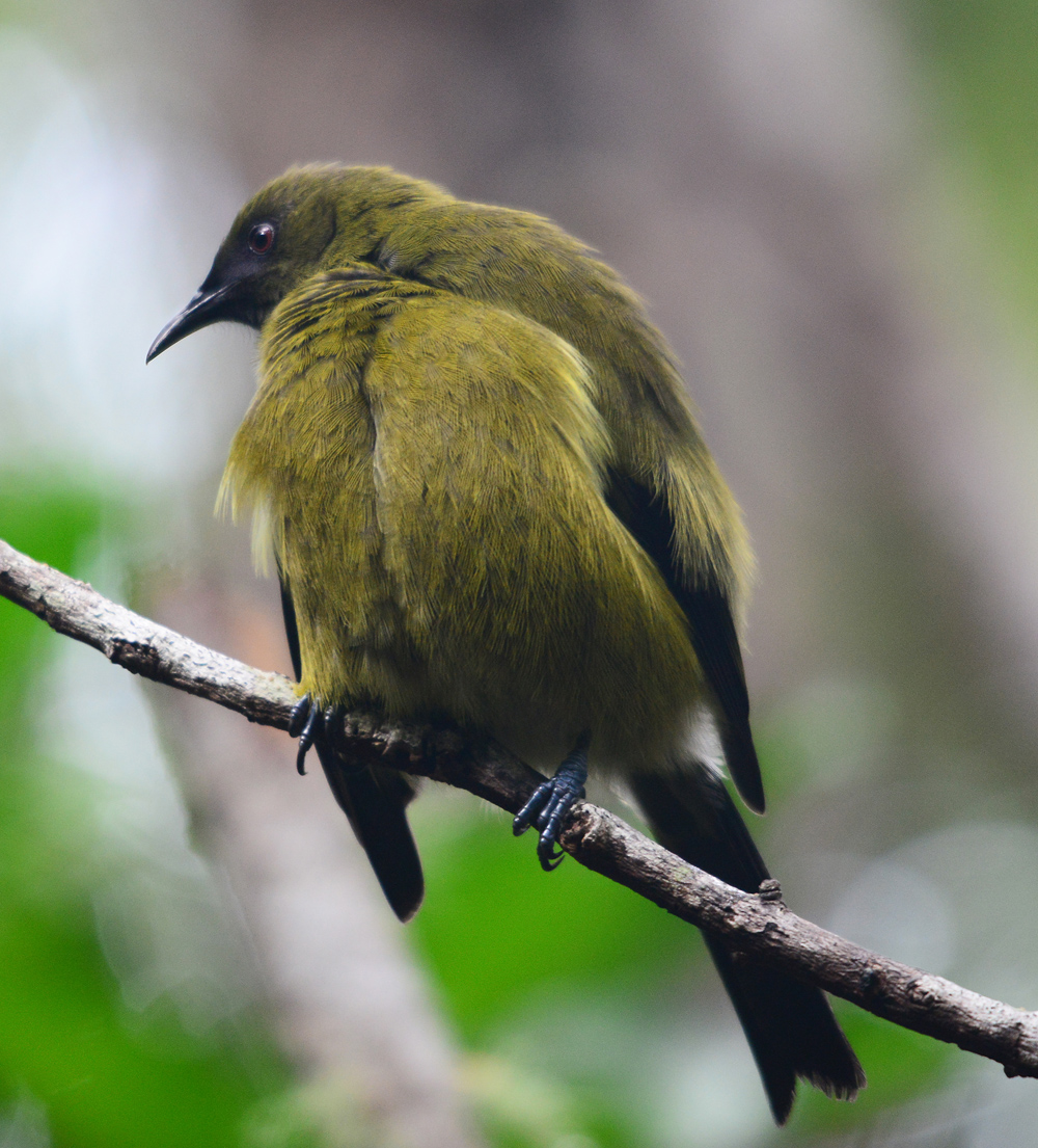 The male Bellbird