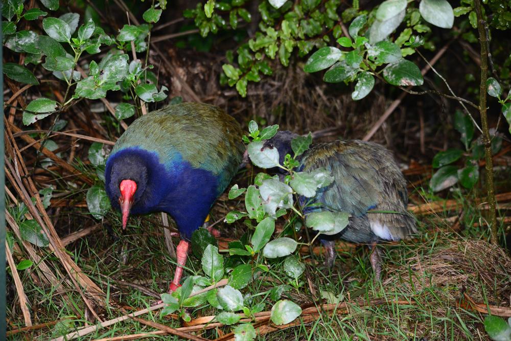 Endangered Takahe