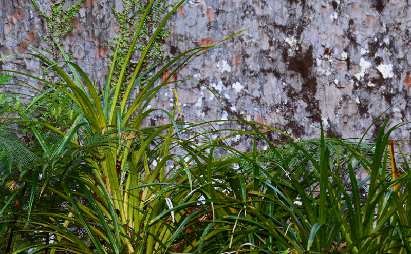 Ground Flora near Kauri