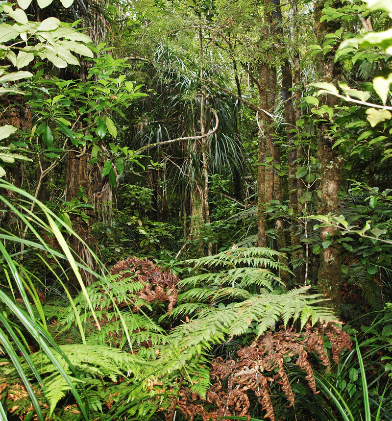 Ferns in the Waipoua Kauri forest
