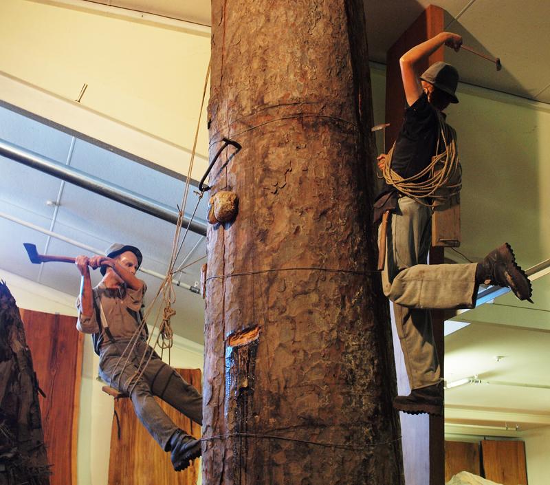 Museum exhibit   Climbing the Kauri