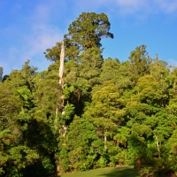 Kauri forest view