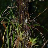 Epiphytes on trees