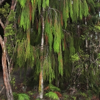 Rimu tree in Waipoua forest